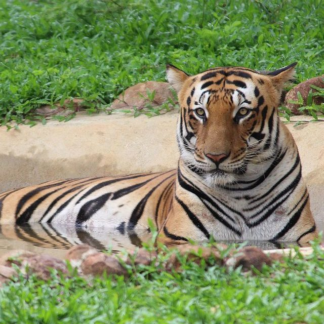 image depicting International Tiger Day