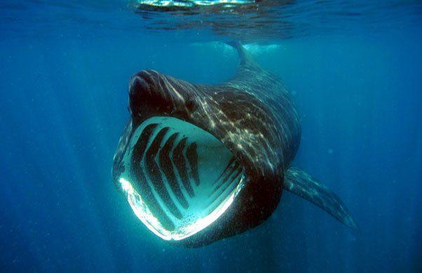 The endangered Basking Shark