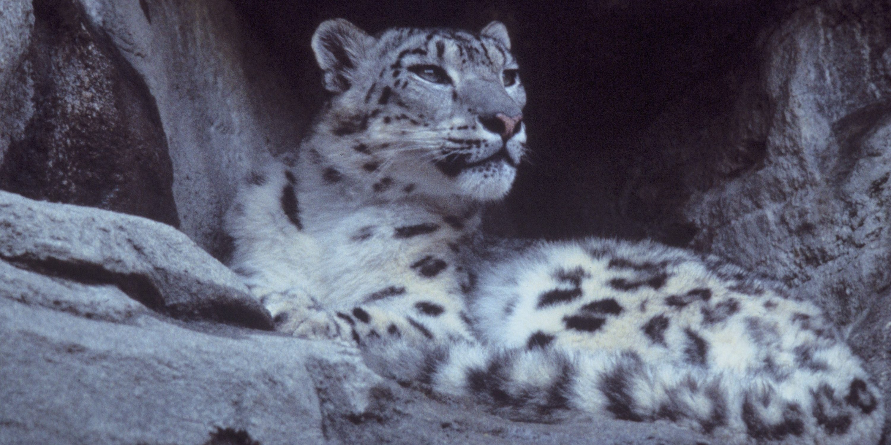 Snow Leopard in China has cataract removed