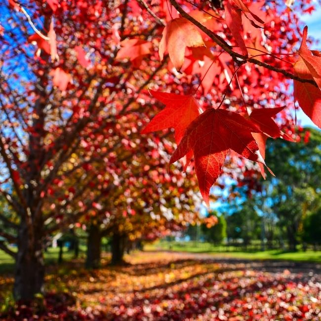 Image depicting red tree, colourful, garden trees, landscape