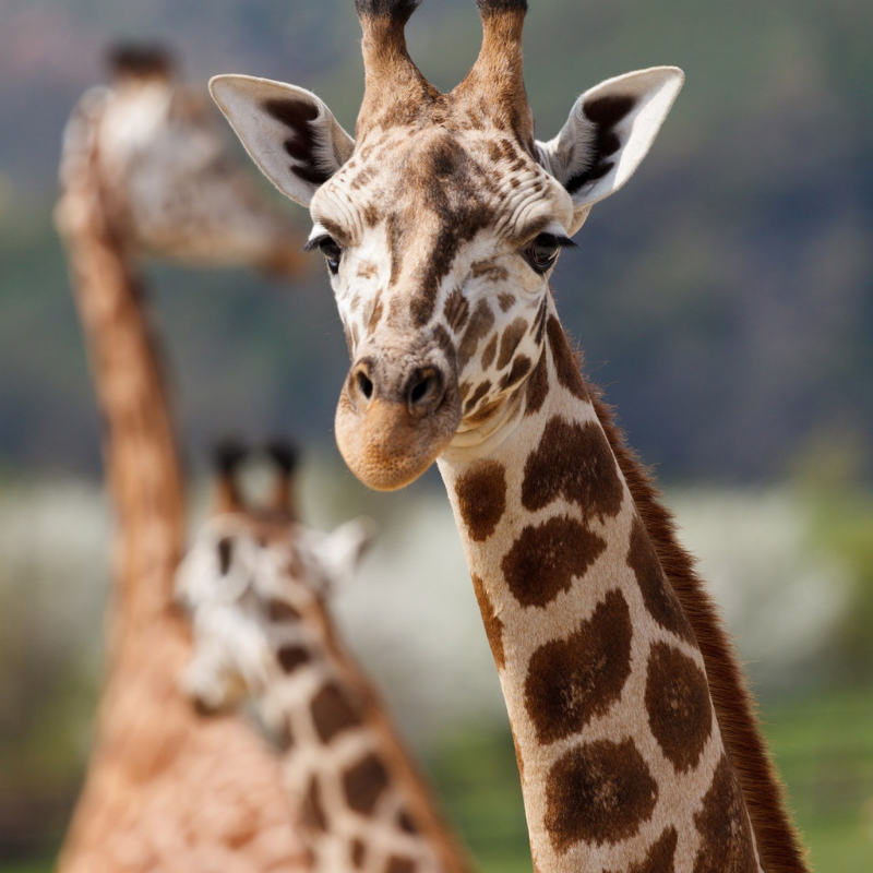 Image depicting a giraffe who became a curious animal and sniffed a biker