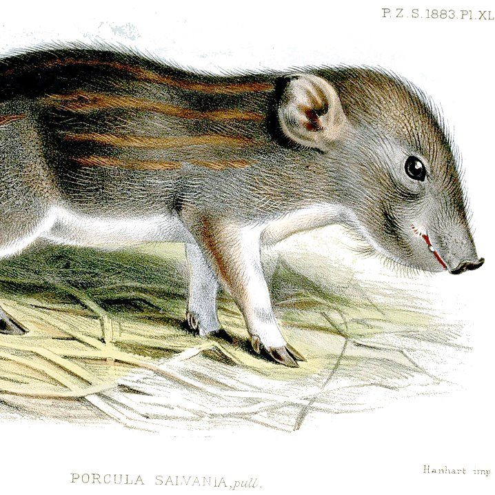 Image depicting pig, world's smallest pig