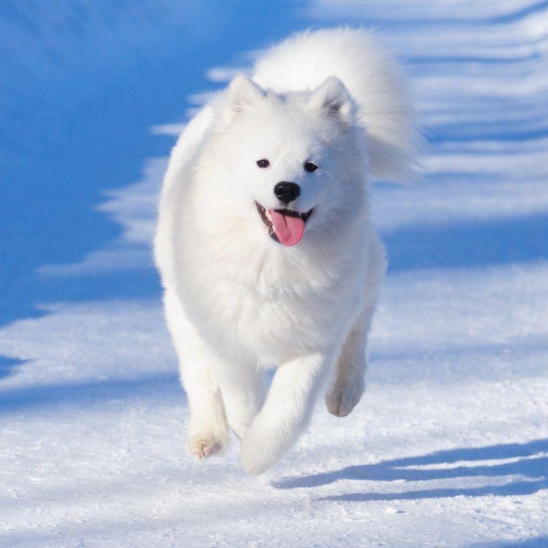 Image depicting dog, Samoyed rescue, Russia