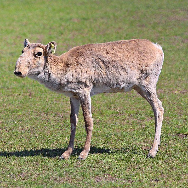 Image depicting antelope, as in, Endangered saiga antelope makes a comeback