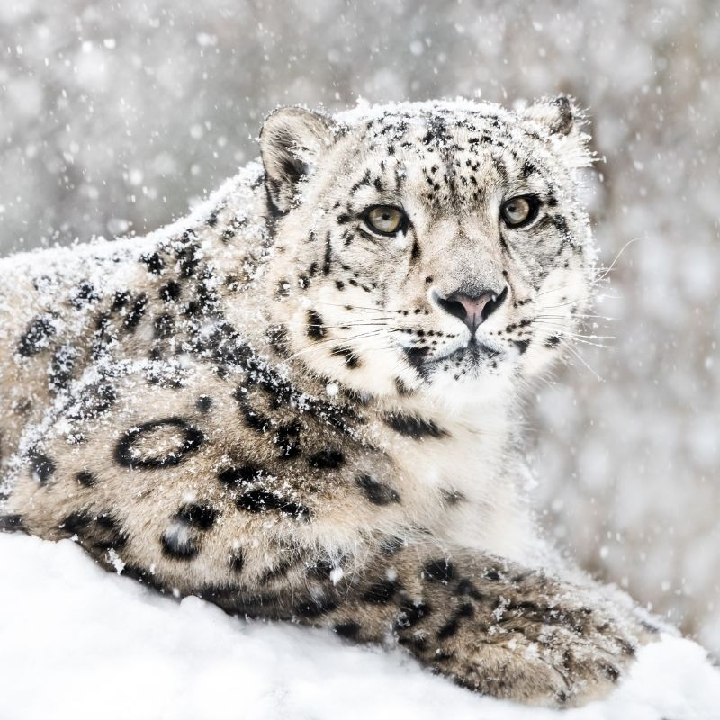 Image depicting snow leopard, as in, Can you spot the snow leopard in this picture?