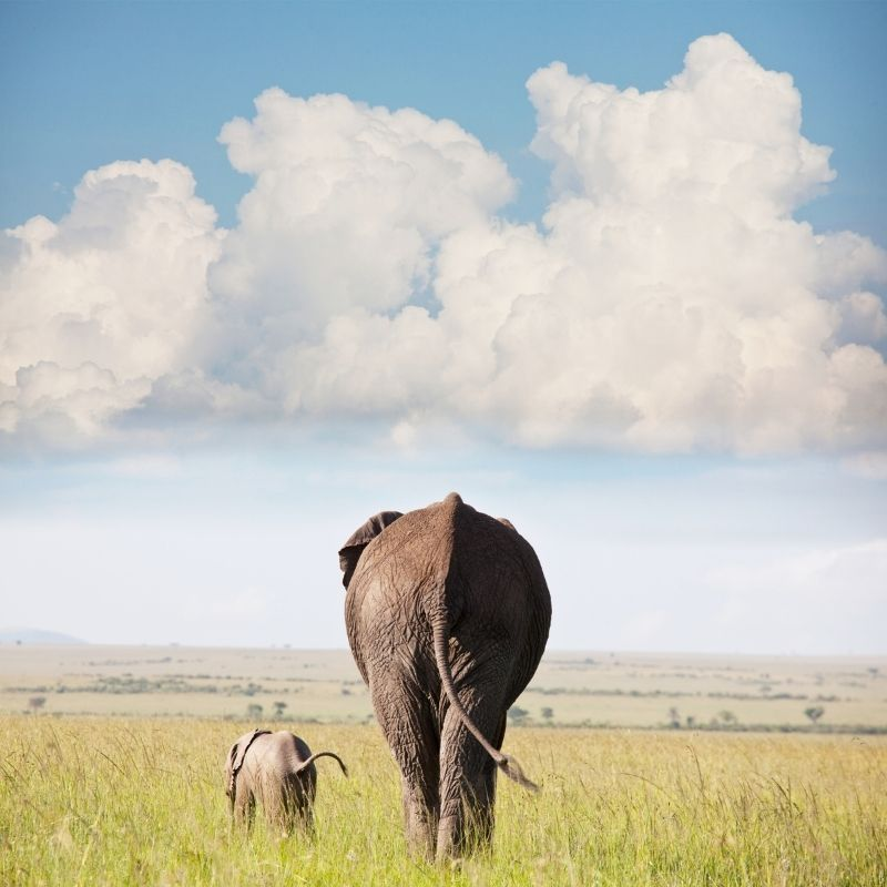 Image depicting elephants, as in, Elephants from UK zoo go back to Kenyan wild in 'world first'