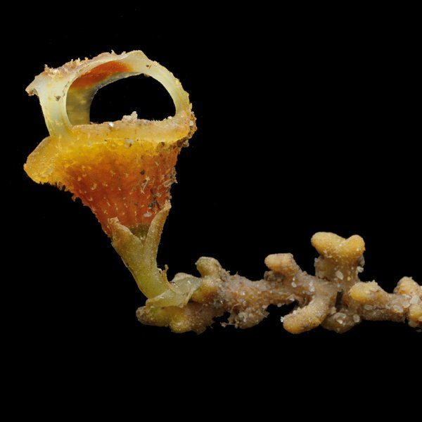 Image depicting fairy lantern, as in, Strange 'fairy lantern' plants discovered in Malaysia
