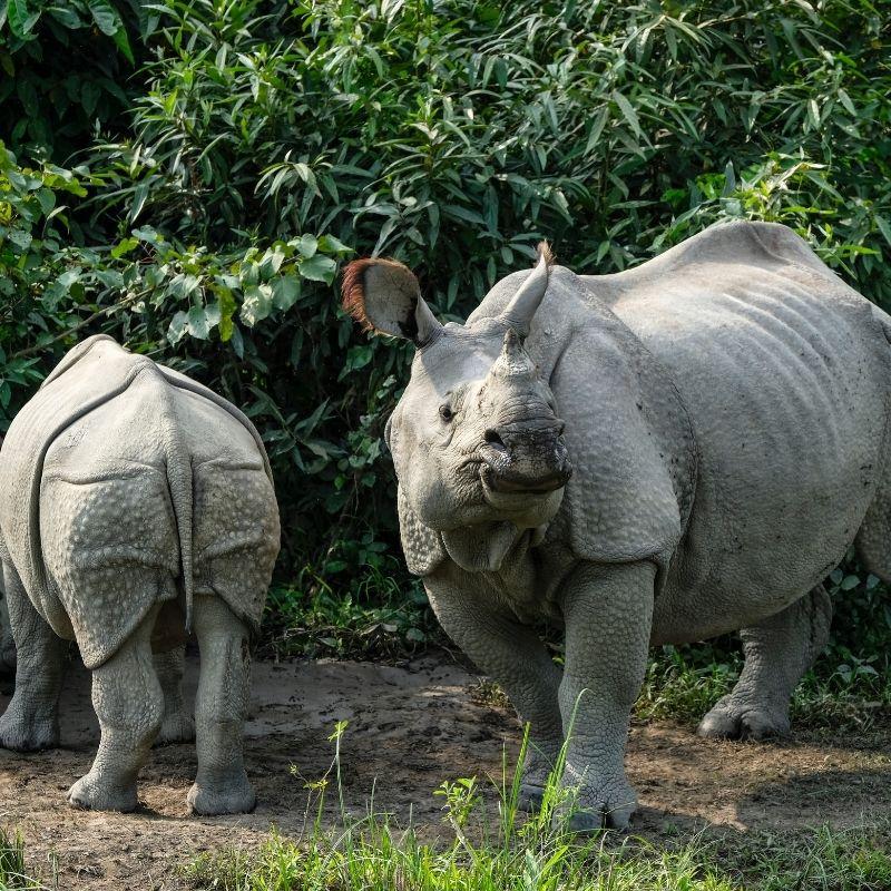 Image depicting rhino, rhinos, Kaziranga
