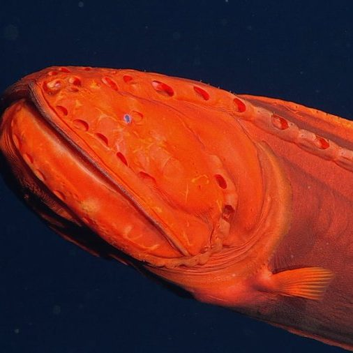 Image depicting Mysterious shape-shifting fish spotted off California coast