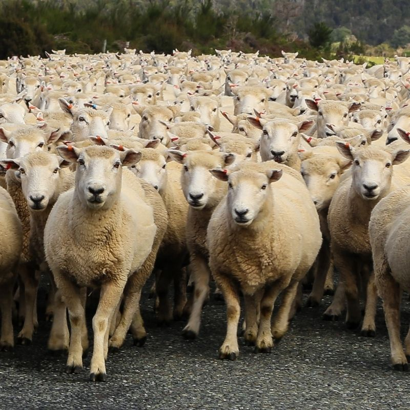 image depicting Sheep traffic jam in the roads of Spain's capital Madrid, children's news