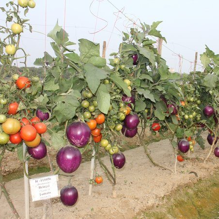 image depicting This 'Brimato' plant produces both brinjals and tomatoes